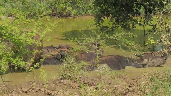 Thumbnail for Large Buffalos with Antlers Stand in Water on Summer Day