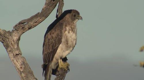 Hawaiian Hawk Adult Alone Perched Flying in Hawaii