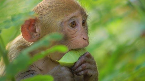 Thumbnail for Rhesus Macaque Macaca Mulatta