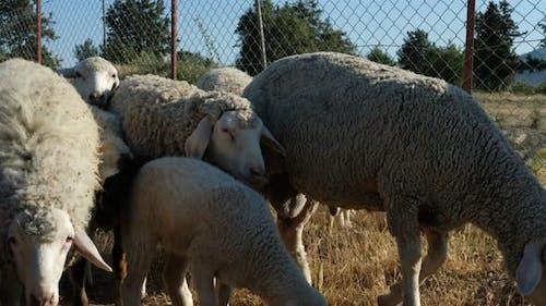Shepman Carrying Sheep