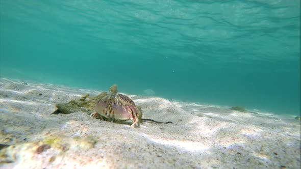 Thumbnail for Tropical Crab in its Natural Habitat Under the Sea in the Caribbean