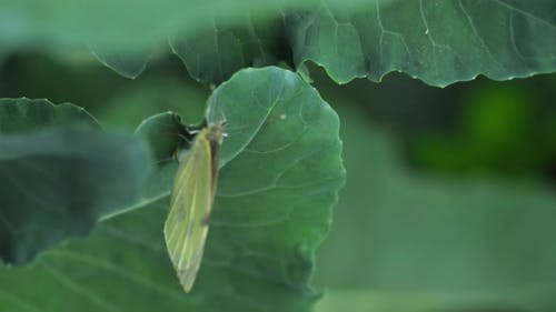 Butterfly Laying Eggs on Green Leaf