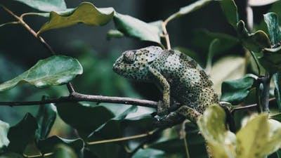 Chameleon Sitting on a Branch in a Green Forest Zanzibar