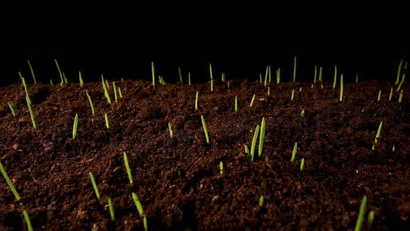 Thumbnail for Germinating Sprouts of Wheat