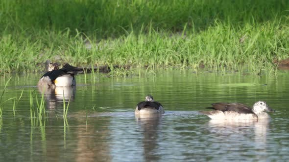Thumbnail for Group of African comb ducks in a lake