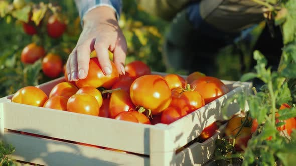 Thumbnail for Hands Worker Put a Tomato in a Box. Harvesting in the Field, Organic Products