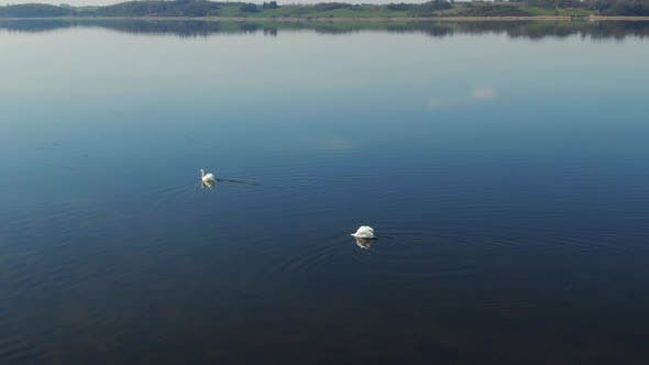 Swans Swimming on the Lake while the other Dabbles on the Water