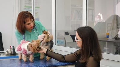 Vet Examining Yorkshire Terriers in Animal Clinic