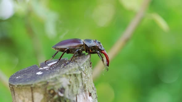 Thumbnail for Stag Beetle Crawling on a Tree