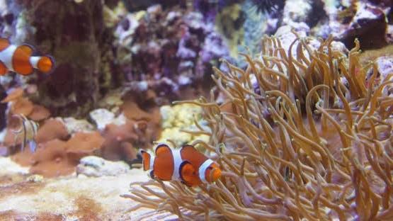 Topical Saltwater Fish Clownfish Anemonefish