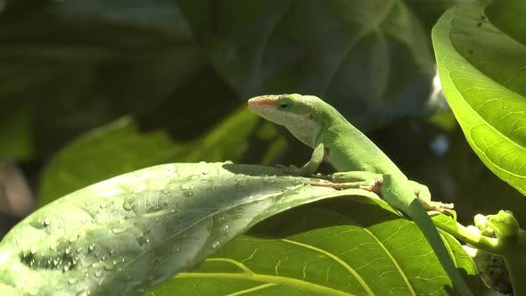 Thumbnail for Green Anole Adult Alone Looking Around in Hawaii