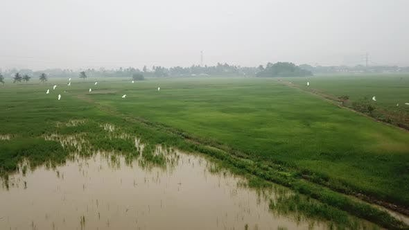 Aerial fly towards egrets fly at green paddy field