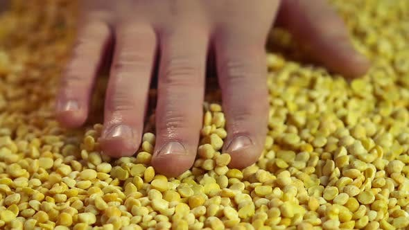 Thumbnail for Hand of Male Farmer Touching Processed Peas, Checking Harvest Quality, Slow-Mo
