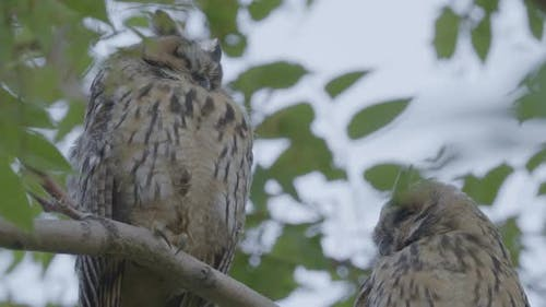 Long Eared Owls During the Day