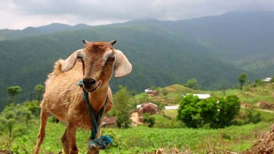 Thumbnail for Goats In Pasture, Himalayan Mountains