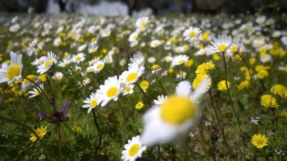 Thumbnail for White Daisy Flower In Nature 5