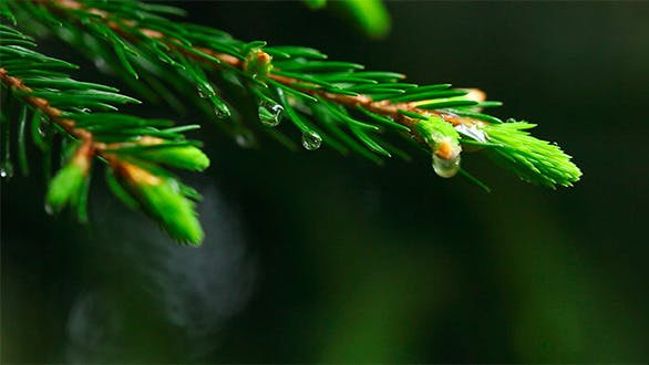 Thumbnail for Wet spruce twig.