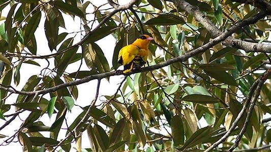 Thumbnail for Yellow Bird Preening 1