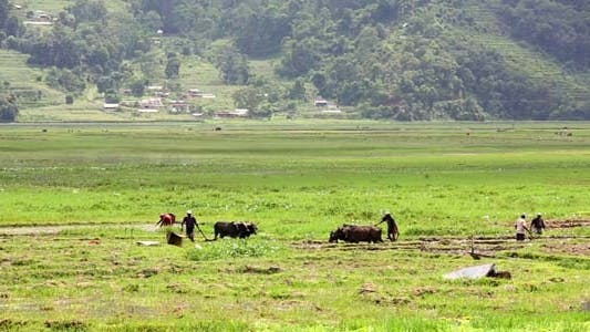 Oxen Cultivate In Field, Pokhara, Nepal 4