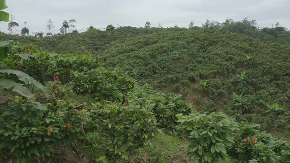 Thumbnail for Aerial footage of a large cacao plantation