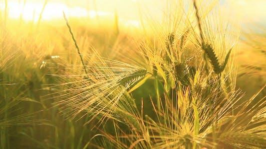 Sonniger Weizen