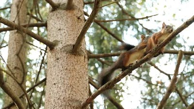 Mating Season in Squirrels
