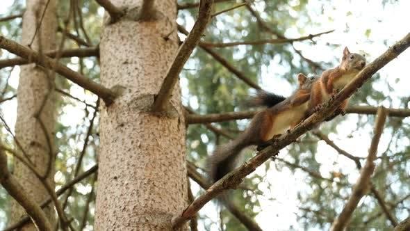 Mating Season in Squirrels