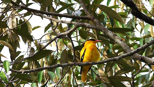 Thumbnail for Black Nape Oriole (Oriolus chinensis) Preening