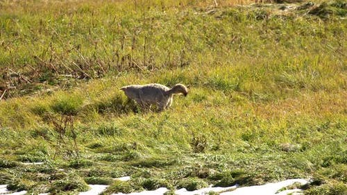 Coyote pouncing in the grass after a gopher it is hunting