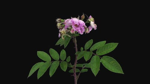 Time-lapse of dying pink wild rose