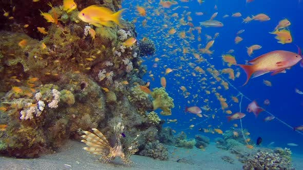 Cover Image for Colorful Tropical Reefs Lionfish and Anthias