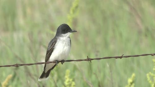 Eastern Kingbird Adult Lone Perched in Spring Fence Barbed Wire