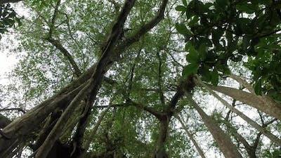 Tilt shot of Banyan tree