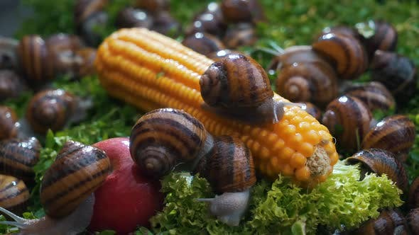 Thumbnail for Snails on Vegetables and Greens