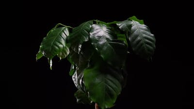 Green Plant Time Lapse - Coffee Plant Timelapse