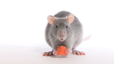 Rat Gnawing Carrots