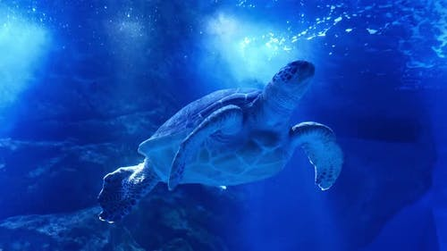 A large sea turtle swims underwater.