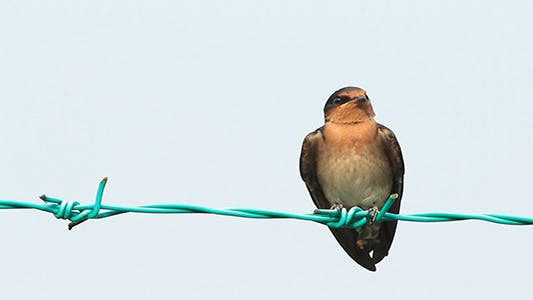 Swallow On The Fence 2