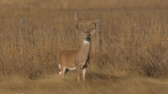 White-tailed Deer Buck Male Adult Several Alarmed Nervous Wary Looking Around in Autumn