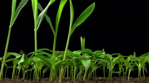 Time Lapse of Growth Sweet Bell Peppers Plants