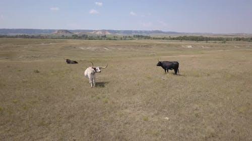 Longhorn Cattle Bull Males in Grassland Rangeland in Great Plains in Summer