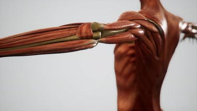 Muscular System of Human Body Animation
