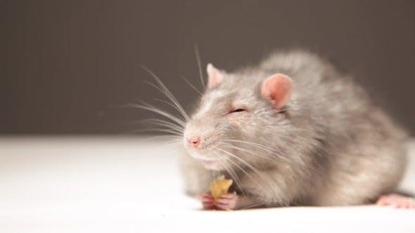 Thumbnail for Rat, Eats Bread