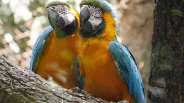 Thumbnail for Gros plan Vidéo de deux perroquets d'aras aimant s'embrasser alors qu'ils sont assis sur la branche d'arbre, oiseaux couple prenant