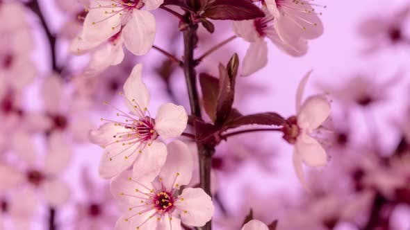 Cover Image for Wild Plum Flower Blossom Dolly Timelapse 2