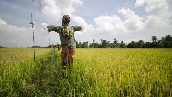 Scarecrow On Rice Field With Blue Sky