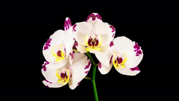 Cover Image for Blooming White Orchid Phalaenopsis Flower
