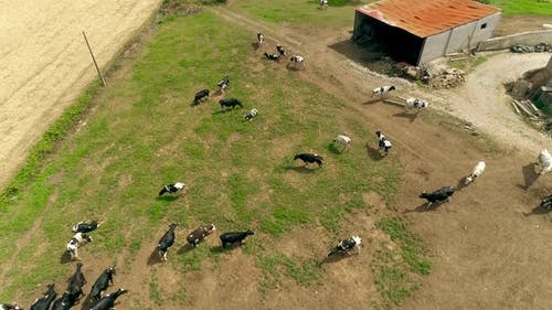 Taken From a Drone a Large Herd of Cows in a Farm