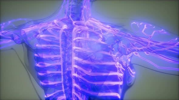 Blood Vessels of Human Body