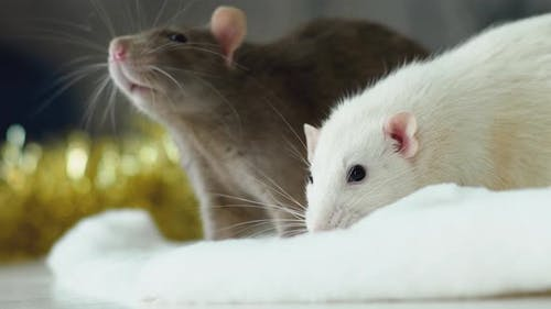 Rats are symbol of the coming 2020 new year